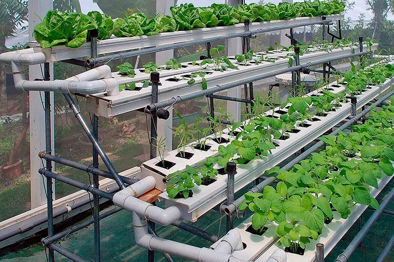 Как высаживать семена для гидропоники опыленное растение конопли